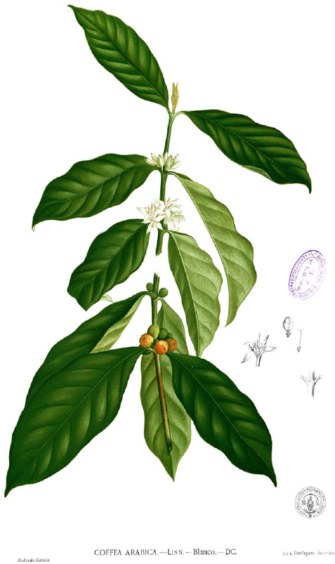 Coffee Trees and Cherries - Coffee Troupe