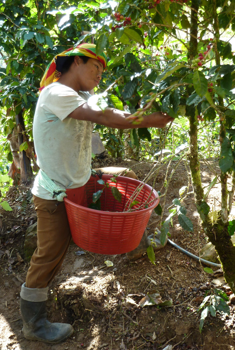 Picking Coffee Cherries Coffee Troupe